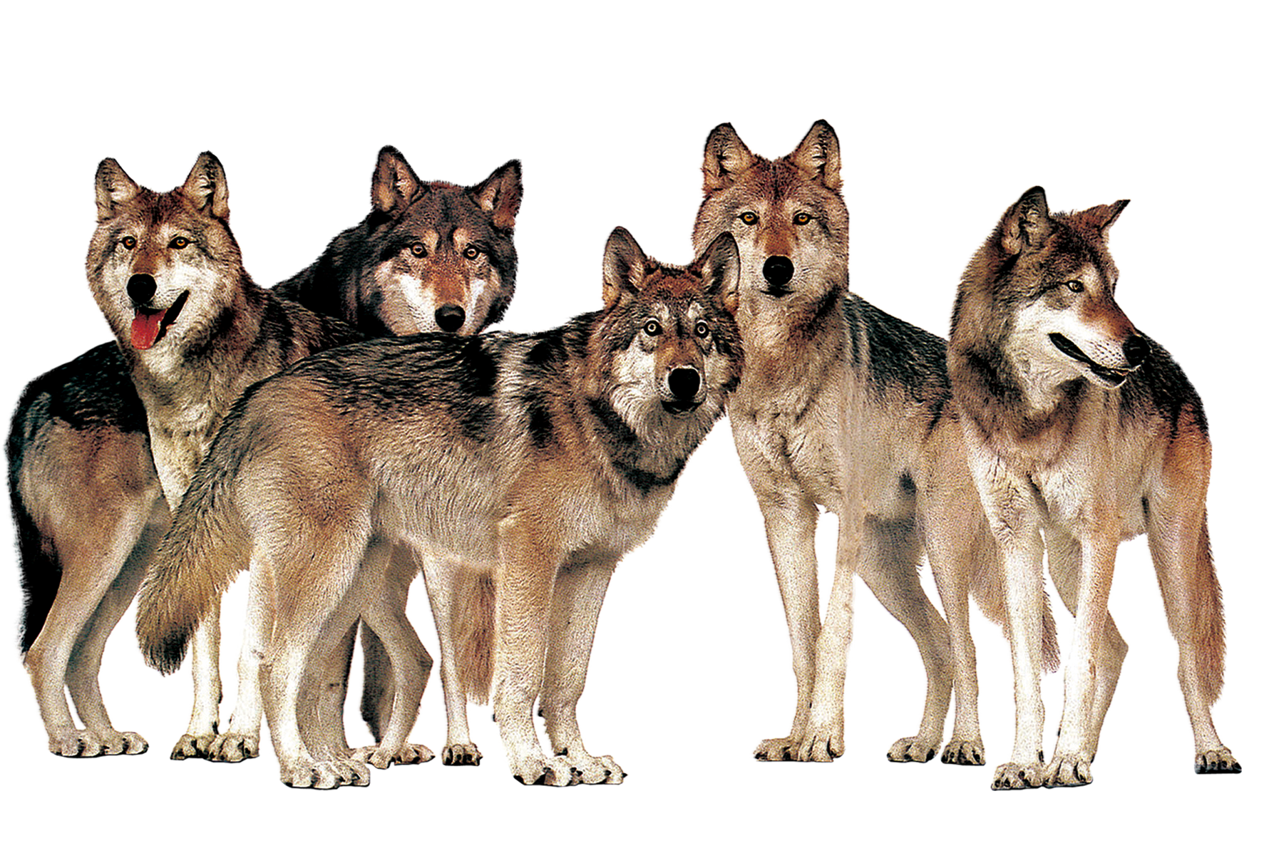 Pictures Of Wolves In The Wild - PNG free download