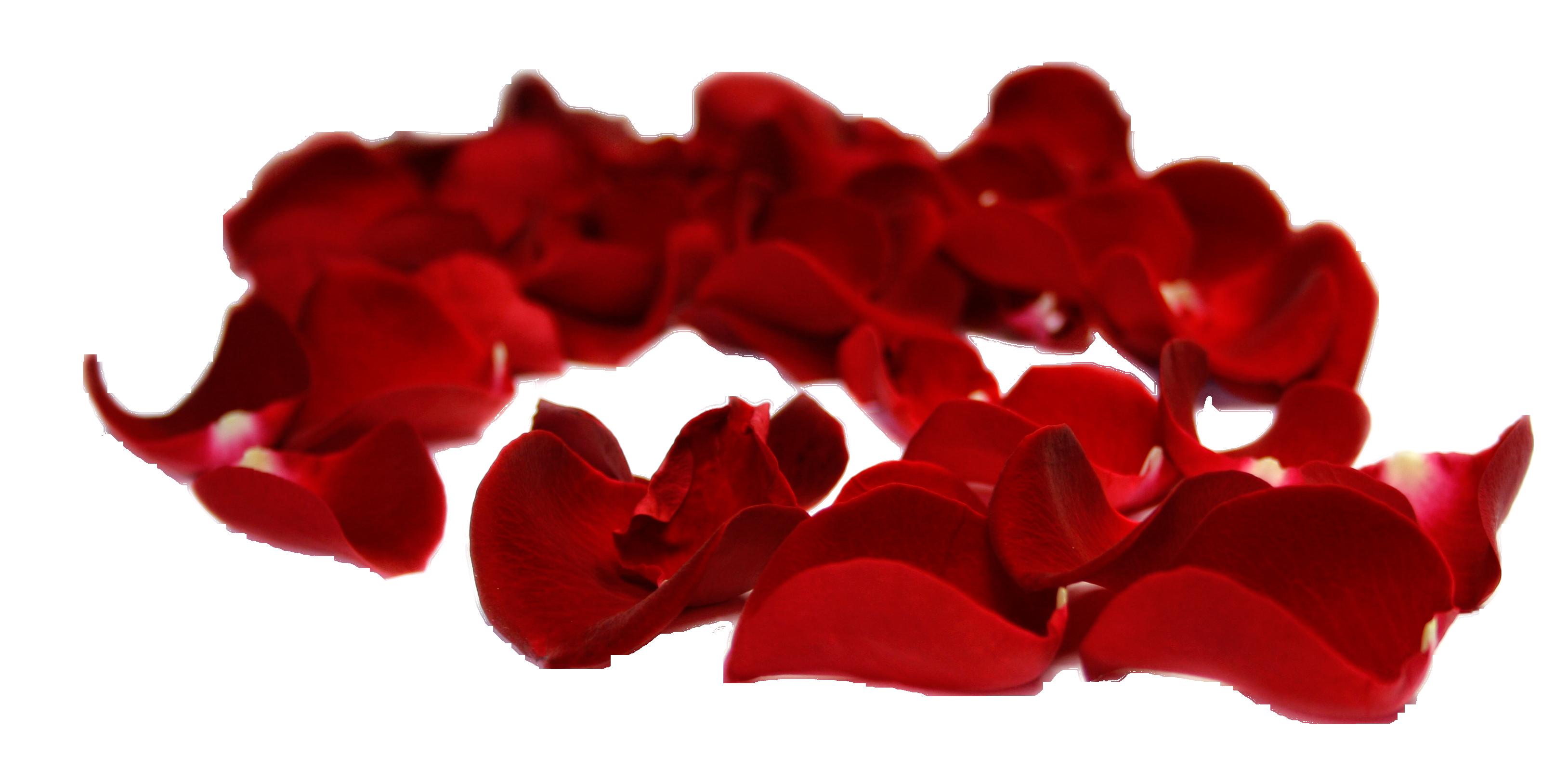 Rose Petals PSD, PNG with Transparent Background