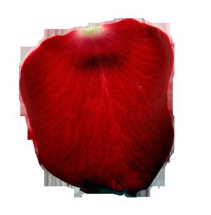 Rose petals png images hd quality free download for Individual rose petals