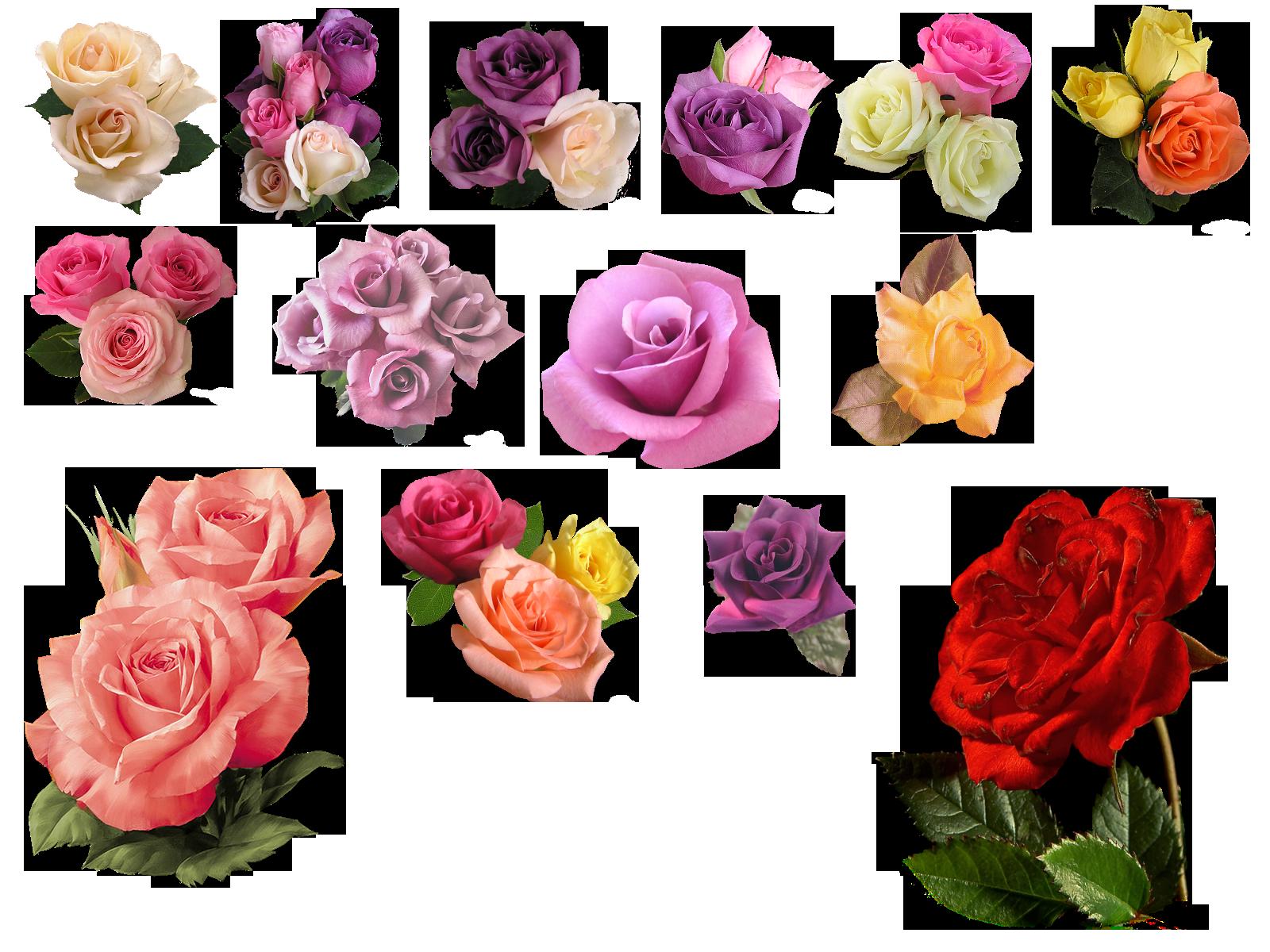 Rose PNG, Rose Clipart, Transparent Rose free download for Transparent Png Images Roses  587fsj