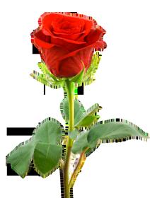 Rose Png Hd Transparent Images Free Download