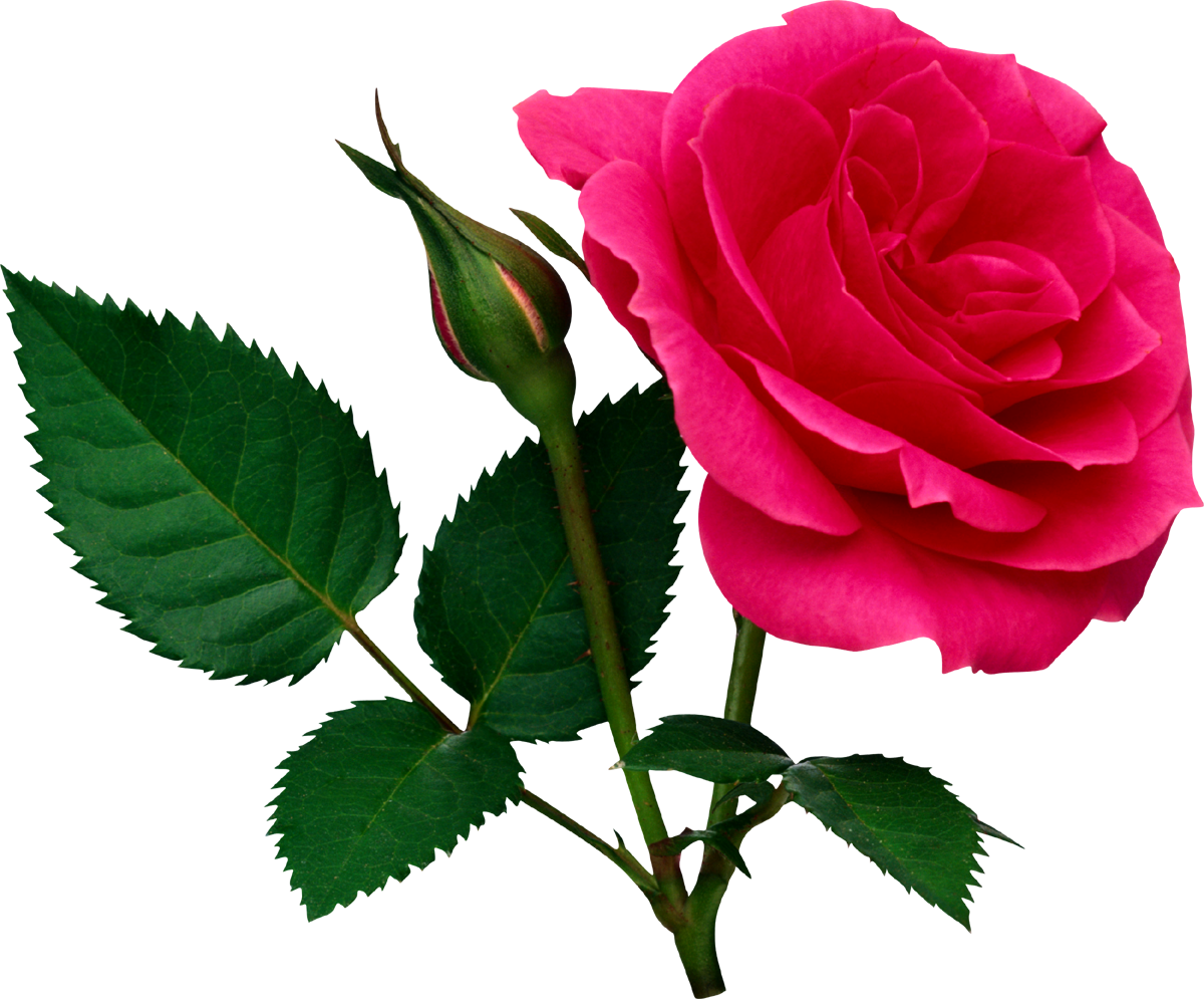 Pink Rose Png With Leaf Transparent Images
