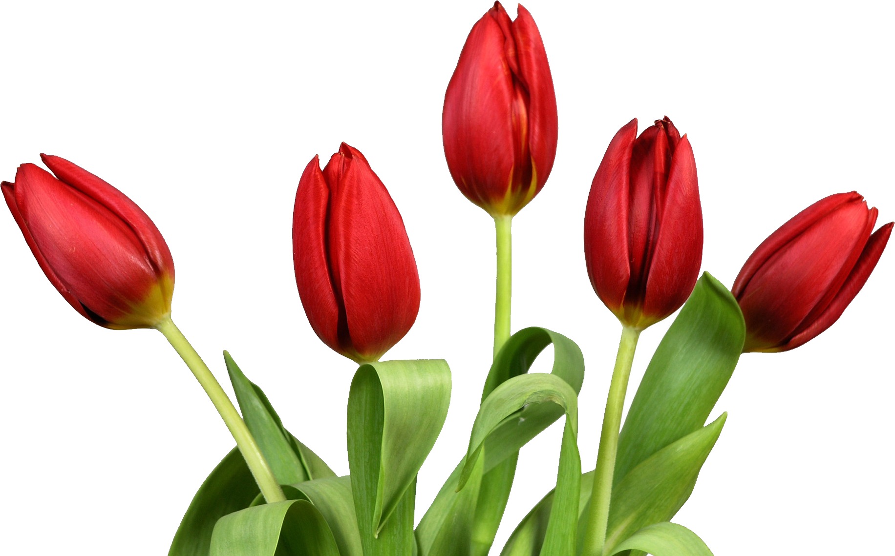 tulip flower png images free gallery pot leaf vector image cartoonish pot leaf vector png