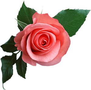 pink rose png picture download