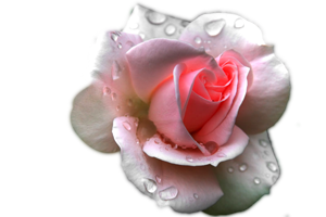 pink rose with water effect