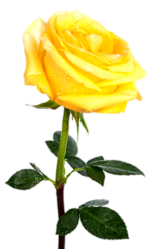 yellw rose png transparent images free gallery
