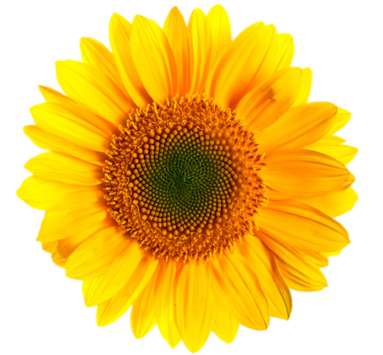 Sunflower PNG Images Transparent FREE Download
