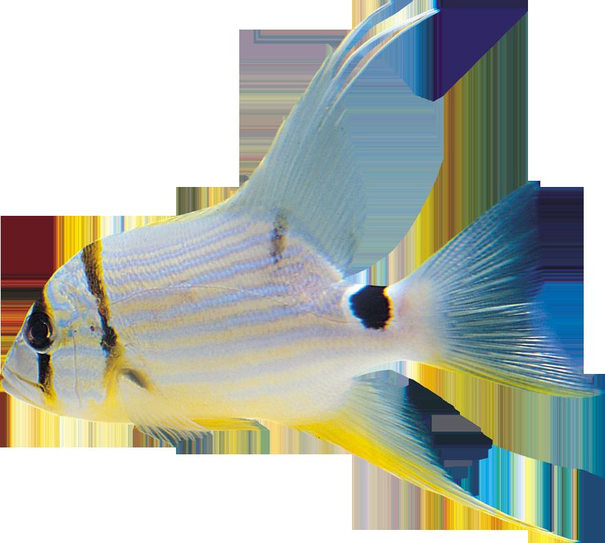 fish clipart white - photo #42
