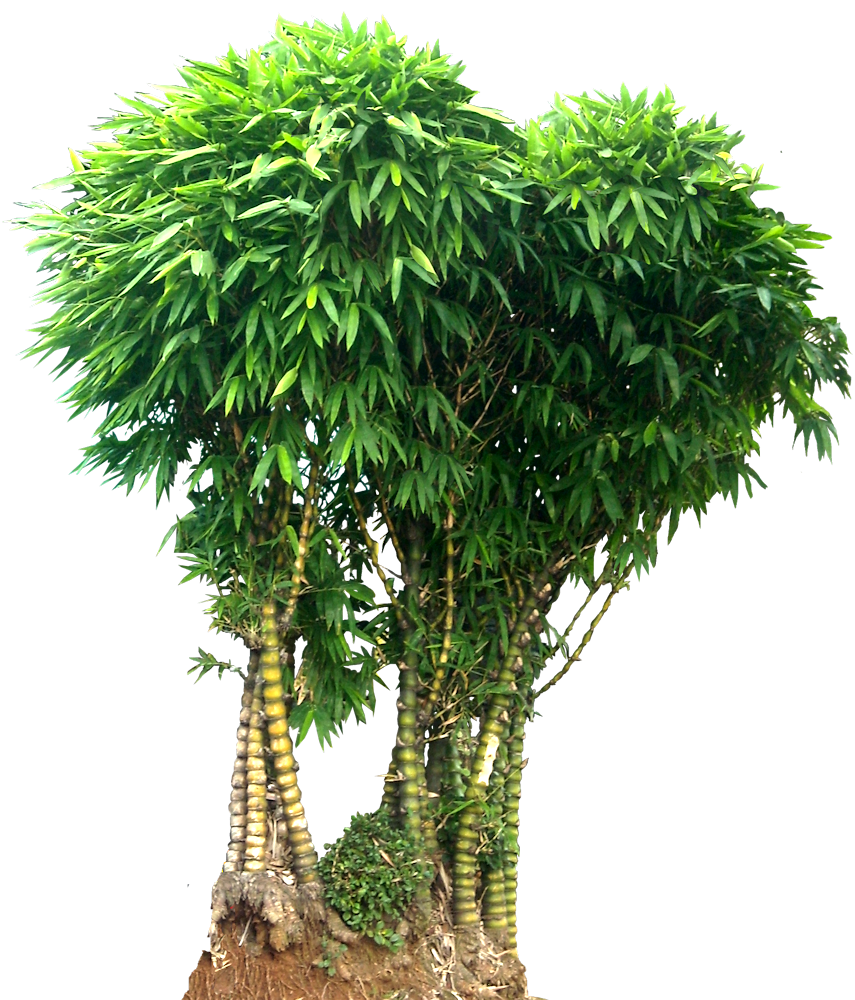 bamboo trees png - photo #13