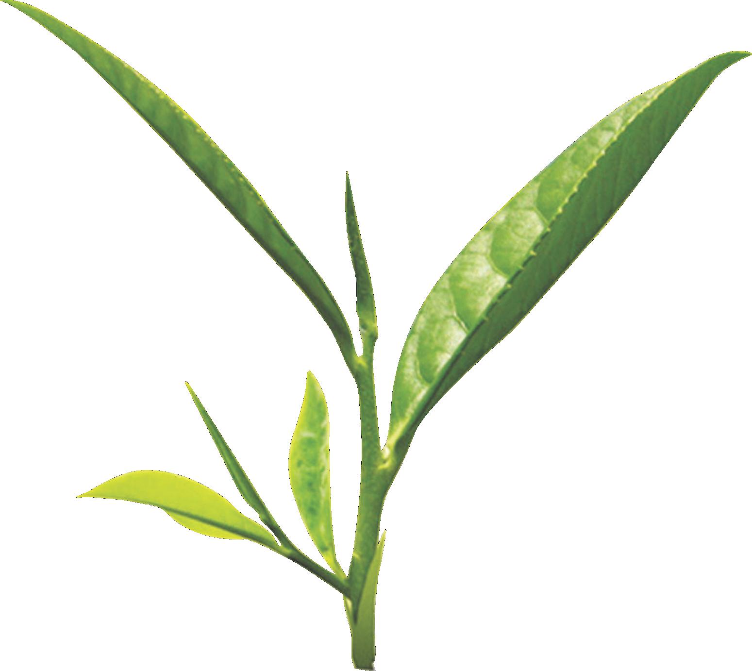 Tea leaf png images free download