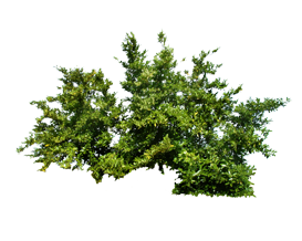 Tree_leaf_png