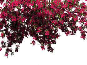 bougainvillea leaf png images free download