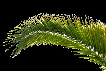 palm tree leaf png transparent