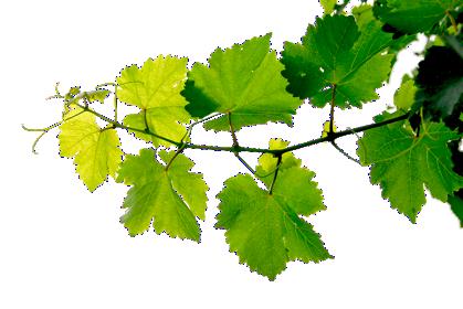 30+ Vines png images free download, Vine leaf, Vines