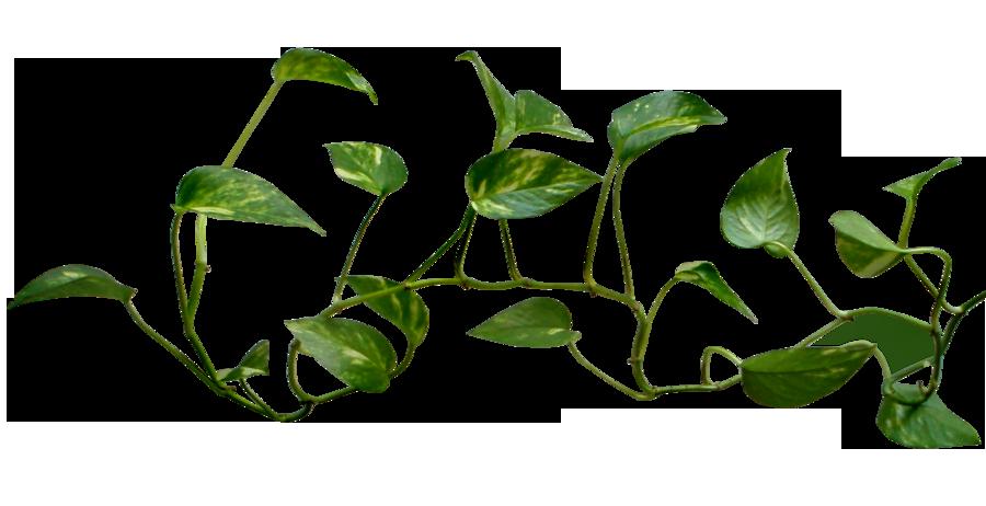 Money plant vine png transparent - House plants vines ...