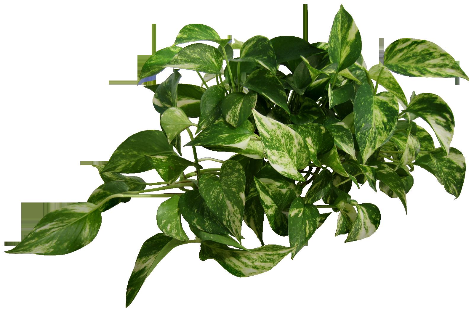 Epipremnum plant png image transparent background